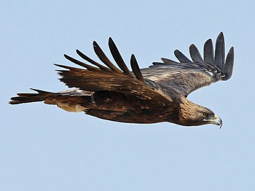 Soaring Golden Eagle Local Wildlife - Loch ...