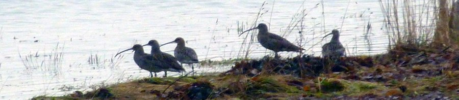 curlews banner
